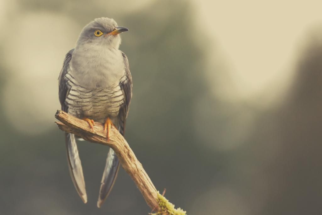 uccello cuculo